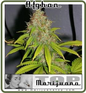 Afghan Marijuana