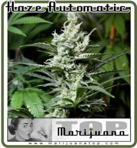 Haze Automatic - Best auto flowering