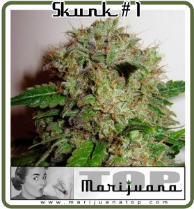The Best skunk in the world