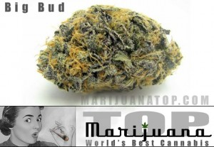 big-bud--best-strain