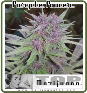 purple power best marijuana