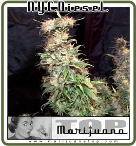 bestt USA weed: NYC Diesel